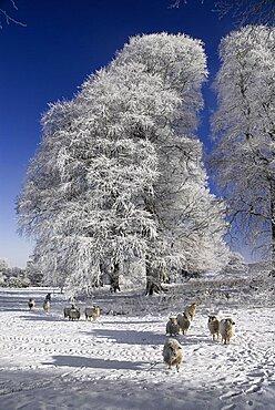 Ireland, County Sligo, Markree, Castle grounds sheep with frost covered tree.