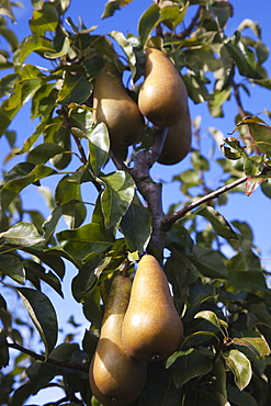 Plants, Fruit, Pears, Conference Pears growing on tree.