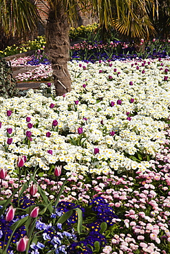 Plants, Flowers, Mixed, Garden with abundance of colourful Tulip and Primrose flowers