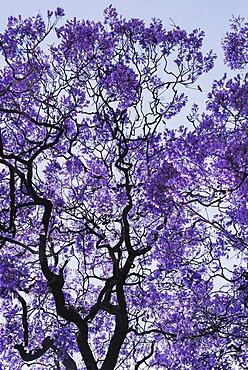 Portugal, Estremadura, Lisbon, Detail of Jacaranda tree.