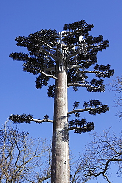Communications, Telephone, Mobile, Communication Tower Mast disguised as Pine Tree against deep blue sky Gwynedd North Wales UK.