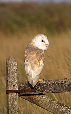 Animals, Birds, Owls, Barn owl Tyto alba Perched On Old Farm Gate in field South West England UK.