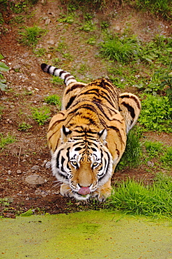 Animals, Big Cats, Tigers, Siberian amur tiger Panthera tigris altaica also known as Amur Tiger crouching down and drinking from stagnant pool of water.