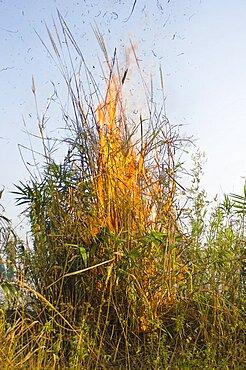 Bangladesh, Chittagong Division, Bandarban, Bamboo burning in the traditional slash and burn style of juma agriculture.