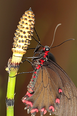 Insects, Butterfly, Barred Horsetail, Close up of Butterfly on Equisetum Japonicum. - 797-11503