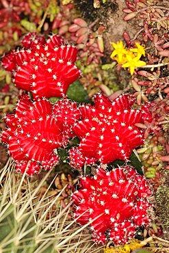 Plants, Cactus, Close up of Hibotan or Moon cactus, Gymnocalycium mihanovichii friedrichi.