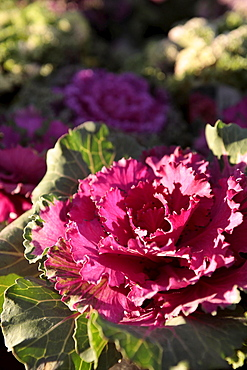 Plants, Flowers, Ornamental Kale, Brassica oleracea,in bright sunshine.