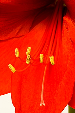 Plants, Flora, Flowers, Amaryllis, Hippeastrum, Close-up detail of a red flower with yellow stamen.