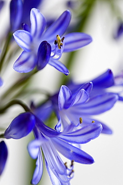 African lily, Agapanthus, purple flowers with prominent yellow stamen against a white background.