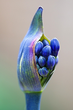 African lily, Agapanthus, purple flowers emerging on a flowerhead against a green background.