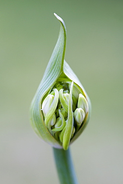 African lily, Agapanthus, white flowers emerging on a flowerhead against a green background.