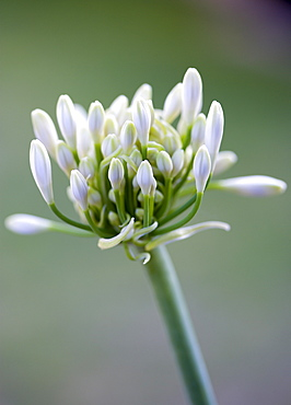 African lily, Agapanthus, white flowers emerging on an umbel shaped flowerhead against a green background.
