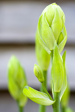 Summer hyacinth, Galtonia candicans, green upright stems with flowers emerging from green buds.