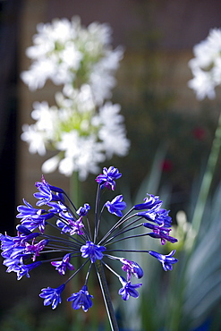 African lily, Agapanthus, purple flowers emerging on an umbel shaped flowerhead.