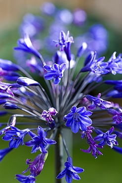 African lily, Agapanthus, purple flowers emerging on an umbel shaped flowerhead against a green background.