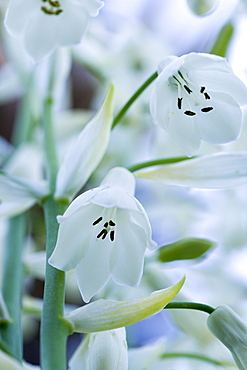 Summer hyacinth, Galtonia candicans, Pendulous white flowers growing on a plant outdoors.