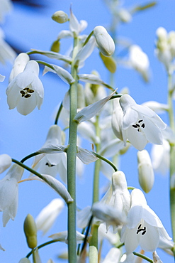Summer hyacinth, Galtonia candicans, Pendulous white flowers growing on a plant outdoors against a blue sky.