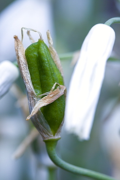Summer hyacinth, Galtonia candicans, green seed pod on a plant.
