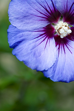 Rose mallow, Hibiscus syriacus 'Blue Bird', single purple blue flower growing on a shrub against a green background.