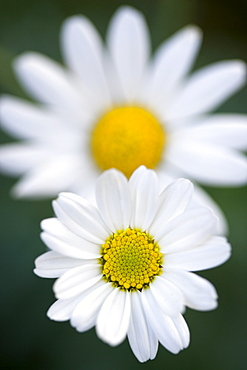 Marguerite daisy, Argyranthemum, single white flower isolated in shallow focus against anothe similar flower and a green background.