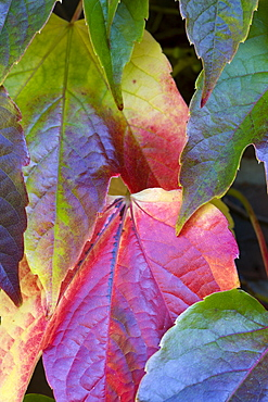 Boston ivy, Parthenocissus tricuspidata, close-up detail of green leaves turning red in autumn on the climbing plant.