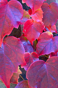Boston ivy, Parthenocissus tricuspidata, close-up detail of red leaves on the climbing plant.