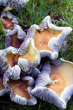 Toughshank, Rhodocollybia, curled rim fungi growing in the grass of a garden lawn in autumn.