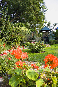 Geranium, red flowers in the foreground of a winding shingle path leading to a gazebo between grass lawn and flowerbed of mixed plant varieties.