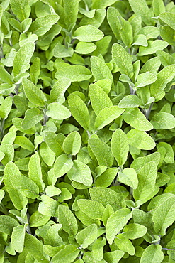 Sage, Salvia officinalis, close up of the dense green leaves of the garden herb.