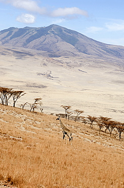 Tanzania, Ngorongoro Crater, Giraffe walking across scrubland in the upper part of the Conservation Area.