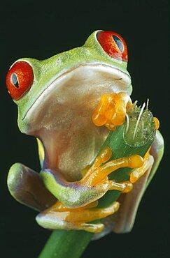 NATURAL HISTORY Amphibian Frog Red-eyed Tree Frog