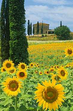 ITALY  Tuscany Field of sunflowers and cypress trees with house behind near Buonconvento