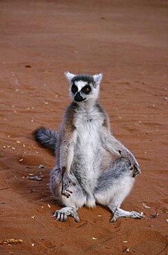 MADAGASGAR  Berenty Reserve Ring tailed Lemur sat on ground Lemur Catta
