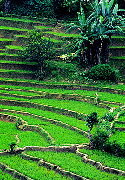 SRI LANKA  Matale region This region of Sri Lanka lies north of the hill country. It is one of the driest parts of the island  but also produces a large quantity of rice for export. Paddy Field Rice Paddies