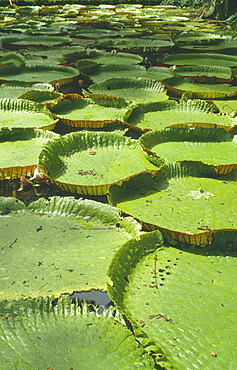 BRAZIL  Amazon Victoria Amazonica. Giant Amazon water lilly pads.