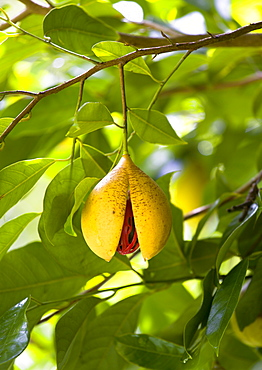 Ripe open and ready to harvest nutmeg fruit growing on a tree showing the nutmeg inside coverred with red mace, Caribbean