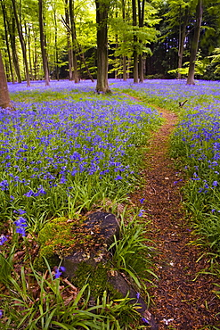Bluebell woodland in spring, Micheldever, Hampshire, England, United Kingdom, Europe