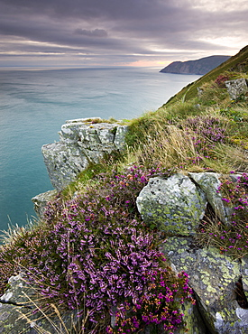Flowering heather on the clifftops of the Valley of Rocks, looking east towards Foreland Point at sunrise, Exmoor National Park, Devon, England, United Kingdom, Europe