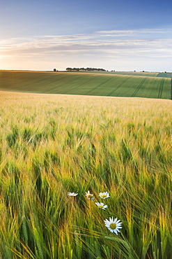 Daisies and barley field in summer, Cheesefoot Head, South Downs National Park, Hampshire, England, United Kingdom, Europe