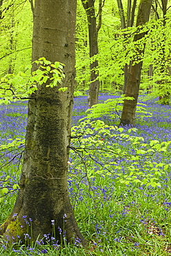 Bluebell carpet in a beech woodland, West Woods, Wiltshire, England, United Kingdom, Europe