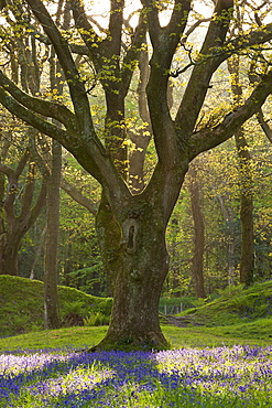 Bluebell carpet beneath mature oak tree, Blackbury Camp, Devon, England, United Kingdom, Europe