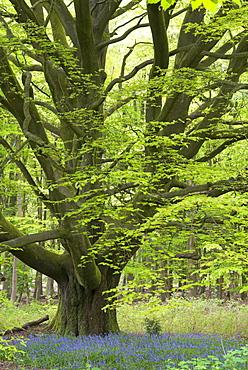 Bluebells growing beneath an ancient pollarded beech tree in Savernake Forest, Marlborough, Wiltshire, England, United Kingdom, Europe