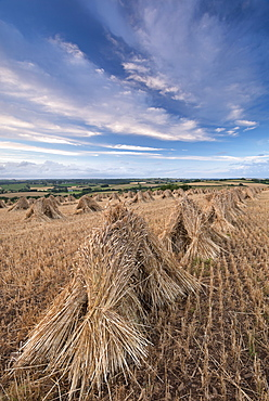 Traditional corn stooks in a Devon field, Coldridge, Devon, England, United Kingdom, Europe