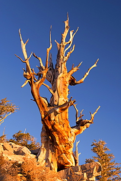 Bristlecone Pine tree in the Ancient Bristlecone Pine Forest, California, United States of America, North America