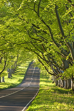 Kingston Lacy Beech lined avenue with road near Badbury Rings, Dorset, England, United Kingdom, Europe