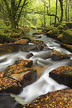 River Fowey tumbling through rocks at Golitha Falls, Cornwall, England, United Kingdom, Europe