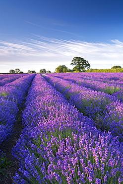 Lavender field in flower, Faulkland, Somerset, England, United Kingdom, Europe
