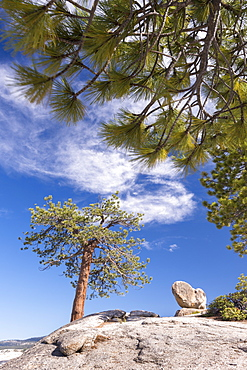 Pine tree on the exposed granite rock at Sentinel Dome, Yosemite National Park, UNESCO World Heritage Site, California, United States of America, North America