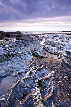 Quartz veins in the rocky shore at Crackington Haven, North Cornwall, England, United Kingdom, Europe