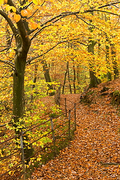 Footpath through autumnal woodland, Stock Ghyll Woods near Ambleside, Lake District, Cumbria, England, United Kingdom, Europe
